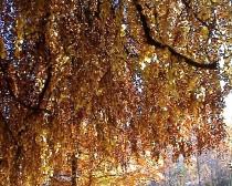 Baum, buntes Blatt, Herbststimmung